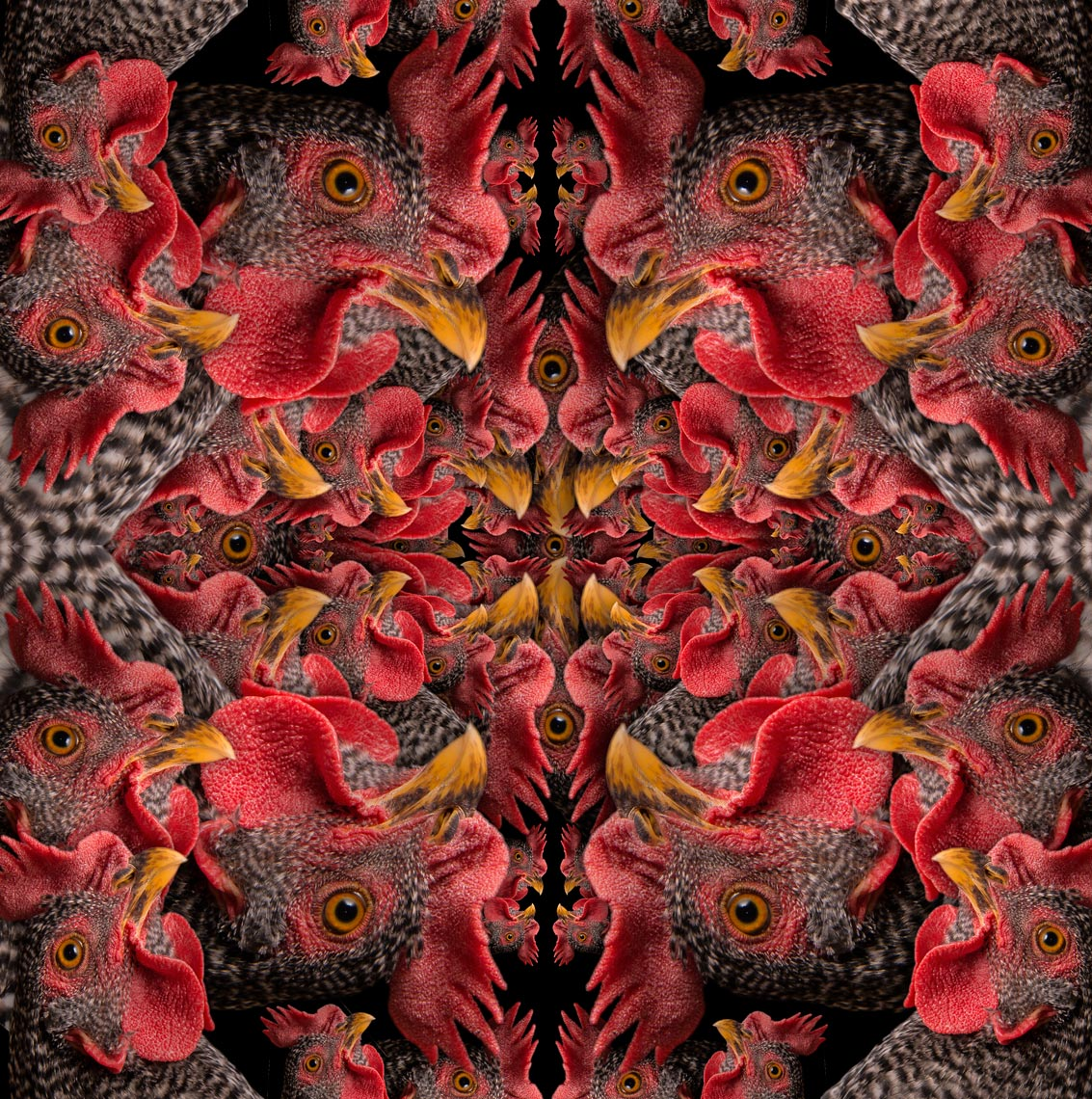 ChickenMultiplied03